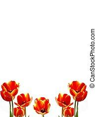tulipán, frontera, retrato