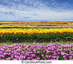 tulipán, horizontal, campo