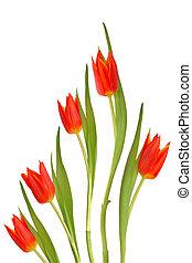 tulipán, květiny, červeň