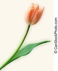 tulipán, meglehetősen, flower.