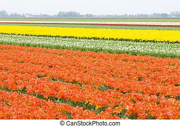 tulipán, németalföld, mező