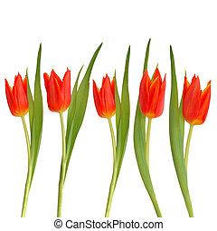 tulipán rojo, flor, belleza