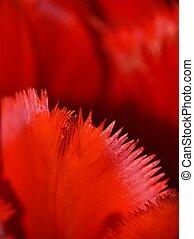 tulipán rojo, primer plano
