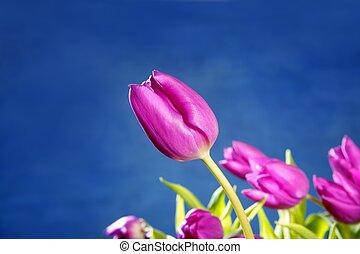 tulipán, vrchol květovat, dále, konzervativní, ateliér, grafické pozadí