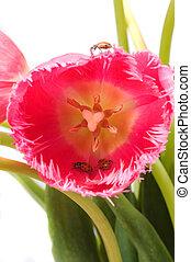 tulipán, y, bichos de dama