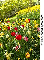 tulipánok, és, nárciszok, alatt, sorshzás befest, alatt,...