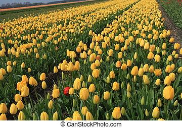 tulipánok, 5