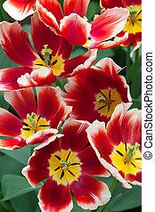 tulipánok, alatt, keukenhof, kert, lisse, németalföld