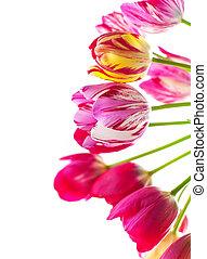 tulipánok, képben látható, egy, white háttér, noha, hely, helyett, szöveg