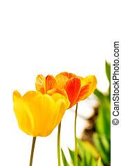 tulipánok, kert