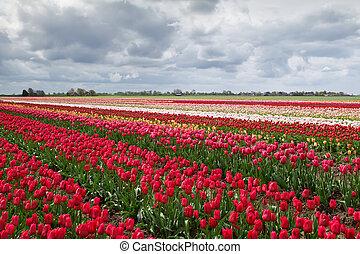 tulipánok, megfog, hollandia, színes, eredet