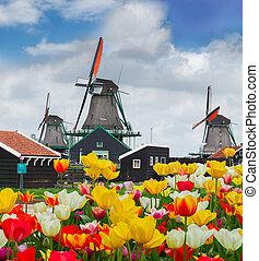 tulipánok, mező, felett, szélmalom, holland