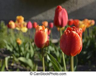tulipánok, színes, eredet