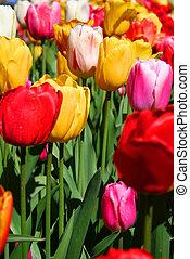 tulipánok, színpompás