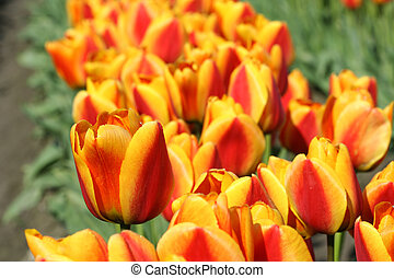 tulip alaranjado