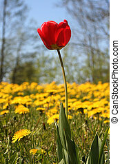 Tulip and Dandelions