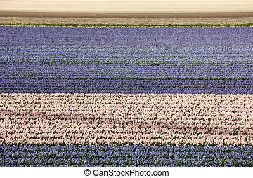 Tulip and hyacinth fields of the Bollenstreek, South Holland, Netherlands