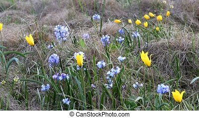 Tulip and hyacinth flowers in steppe