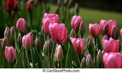 tulip animation