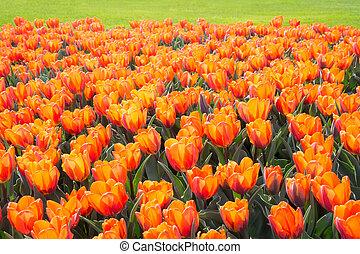 tulip arancia, fiori