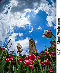 Tulip at Parliament Building