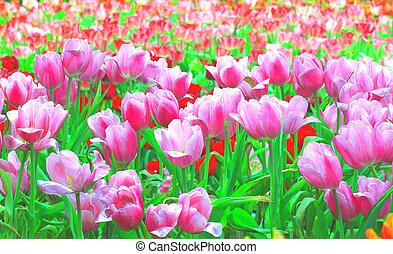 tulip blooming in garden