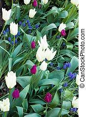 Tulip bulbs in spring, tulips in a garden, UK