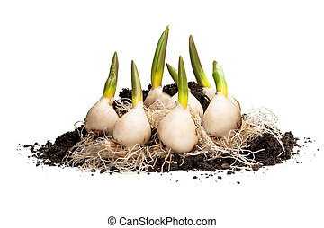 Tulip bulbs with roots isolated on white