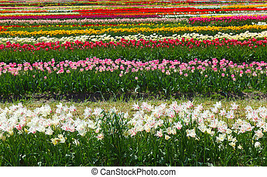 Colorful tulip flowers farm in Holland