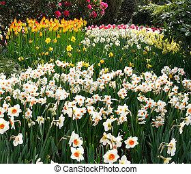 Tulip farm daffodils landscape - Tulip farm landscape with...