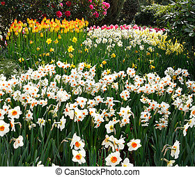 Tulip farm landscape with tulips and daffodils.