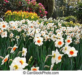 Tulip farm daffodils landscape