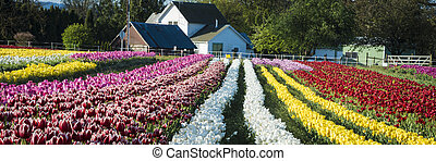 Tulip farm in Oregon - Rows of tulips leading to a farm...