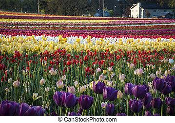 Tulip farm in Oregon
