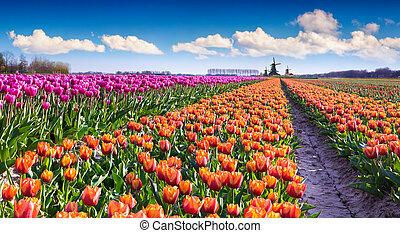 Tulip farm near the Creil town. Beautiful outdoor scenery in Netherlands, Europe.
