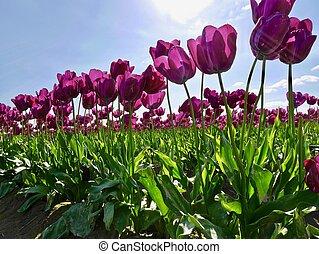 Tulip festival.