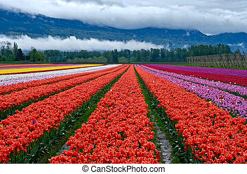 Tulip festival in Chilliwack. Tulips of the Valley.
