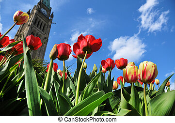 Tulips Festival in Ottawa with Parliament tower in the background.
