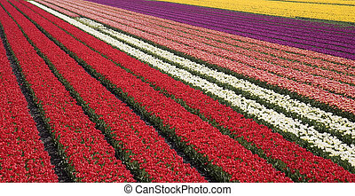 tulip field 31 - Dutch tulip fields