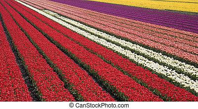 tulip field 31 - Dutch tulip fields