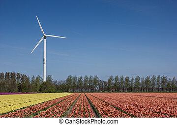 Tulip field and wind turbine