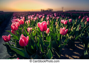 Tulip field. Beautiful tulip among tulips. close up. Growing flowers in spring.