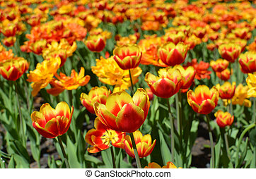 Tulip field - bright red and orange tulips like burning fire, tulips in full blossom on spring, sunny day,