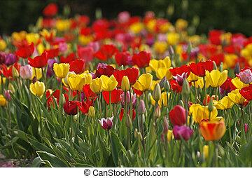 Tulip field in spring, Germany