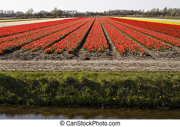 Tulip field in spring, Holland