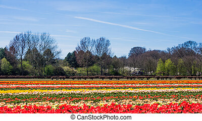 tulip field in the Netherlands. Landscape with tulips