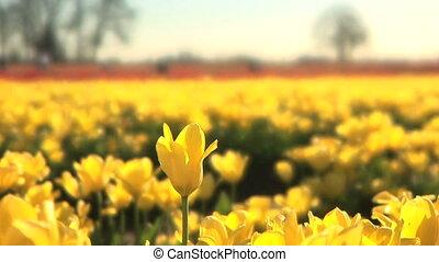 Tulip Field, one flower raised up - One yellow tulip raised...