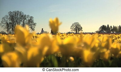Tulip Field, Silhouette of people - Silhouette outline of...