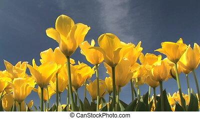 Tulip Field - Tulip festival, Woodburn, Oregon
