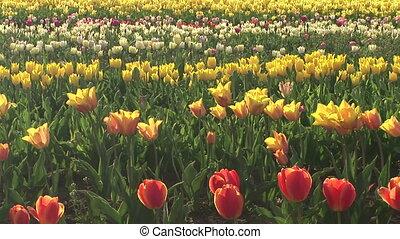 Tulip Field - Tulip field in the Willamette Valley,...